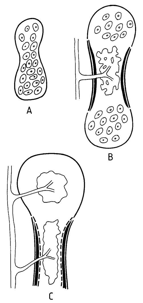 small resolution of a c diagram of intramembranous ossification of tubular bone a perichondrium peripheral black line at the periphery of the partially calcified cartilage