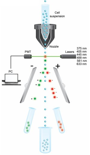 Fluorescenceactivated cell sorting (FACS) The suspended