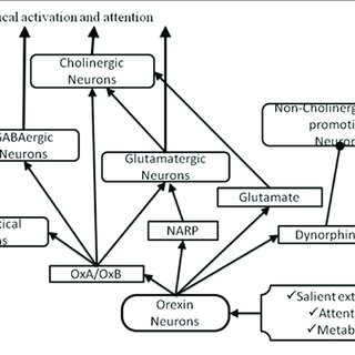 | Overview of the basal forebrain (BF) cholinergic pathway
