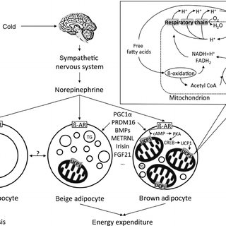 Brown adipose tissue physiology. The activation of the