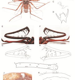 charon dantei sp nov female holotype a habitus b left chelicerae download scientific diagram [ 850 x 1237 Pixel ]
