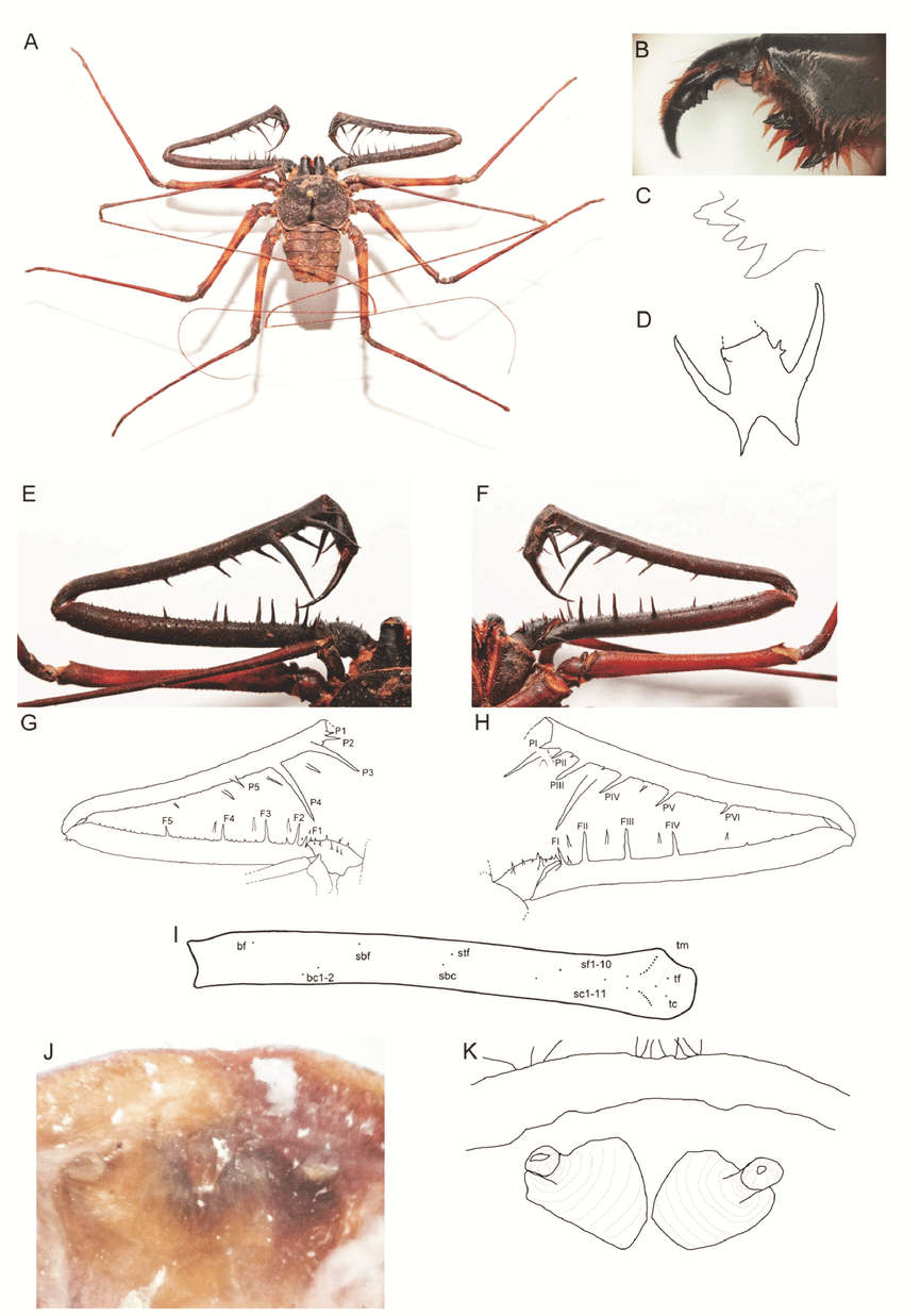 medium resolution of charon dantei sp nov female holotype a habitus b left chelicerae download scientific diagram