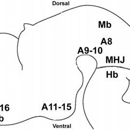 Diagram of the main midbrain dopaminergic circuits in the