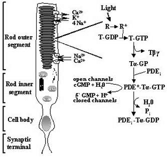 A schematic diagram of a rod photoreceptor cell and the