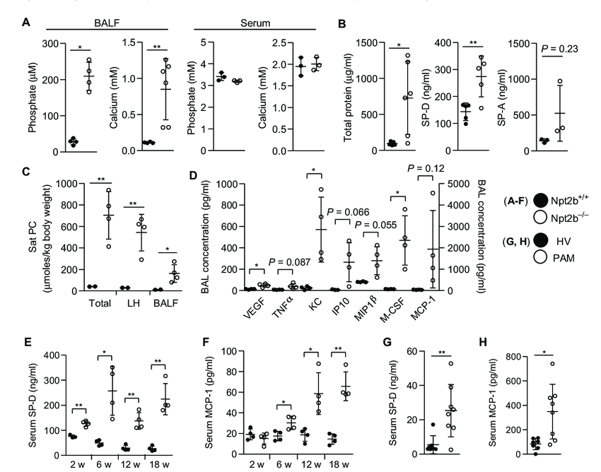 Deletion of Npt2b in the lung epithelium results in