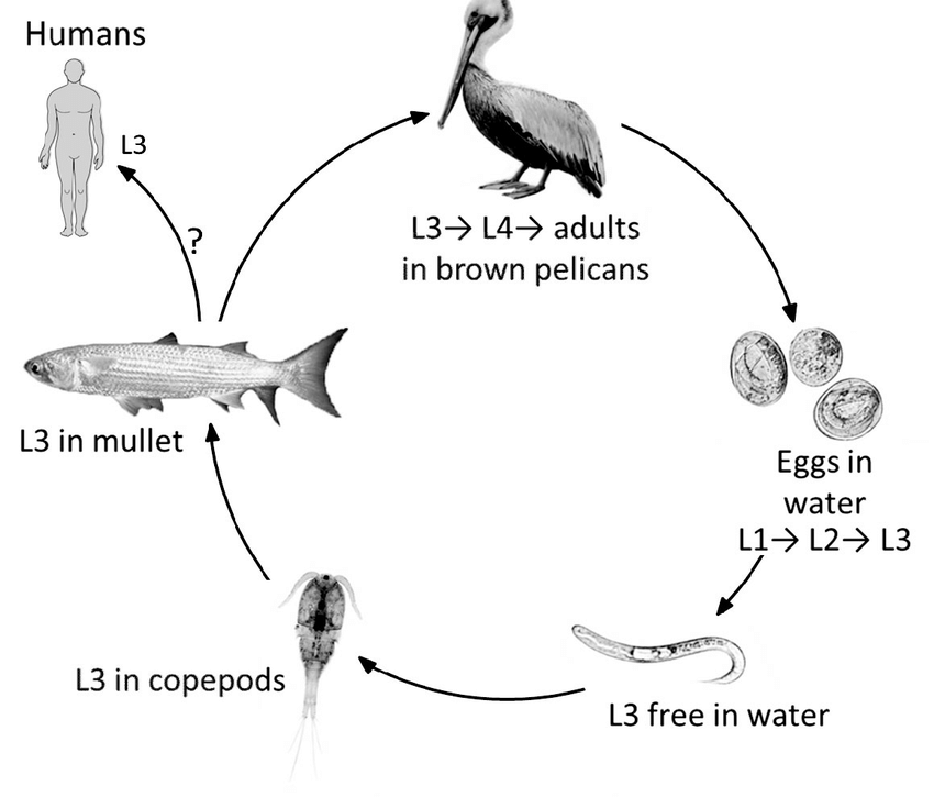 Tentative life cycle of Contracaecum multipapillatum s.l