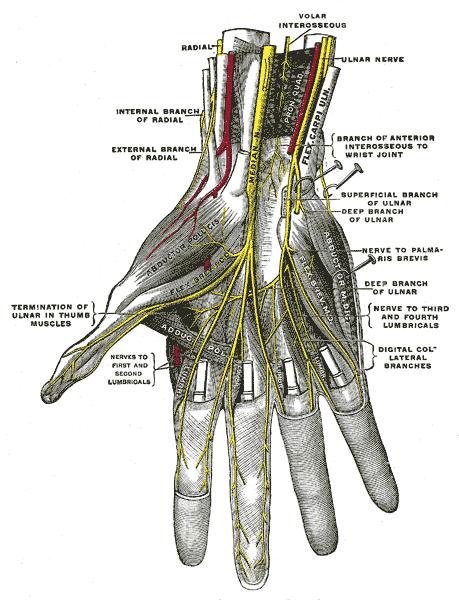 ulnar nerve diagram york heat pump package unit wiring anatomy in the hand download scientific