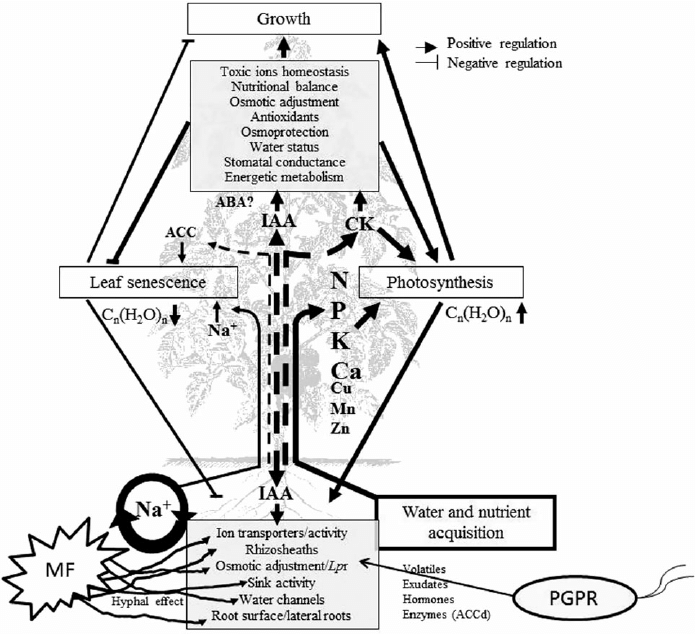 Salt stress alleviation by mycorrhizal fungi (MF) and