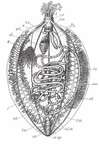 Holoturoideos del Golfo de California. (PDF Download
