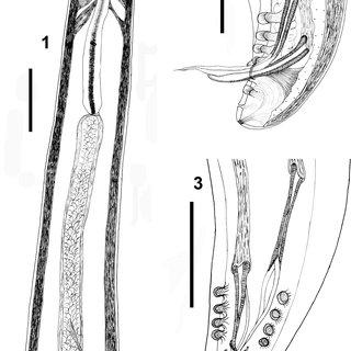 Dirofilaria immitis by light microscopy. (1) Anterior end