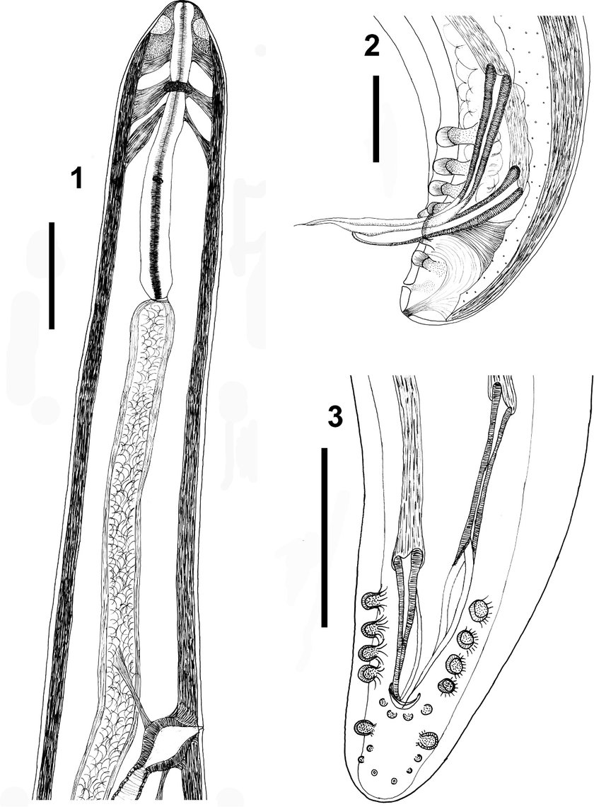 medium resolution of  1 anterior end of female showing the nerve ring esophagus deirids first portion of intestine and the vulvar opening bar 5 200 mm