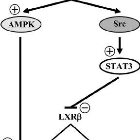 Activation of islet ER in vivo suppresses SREBP1c and