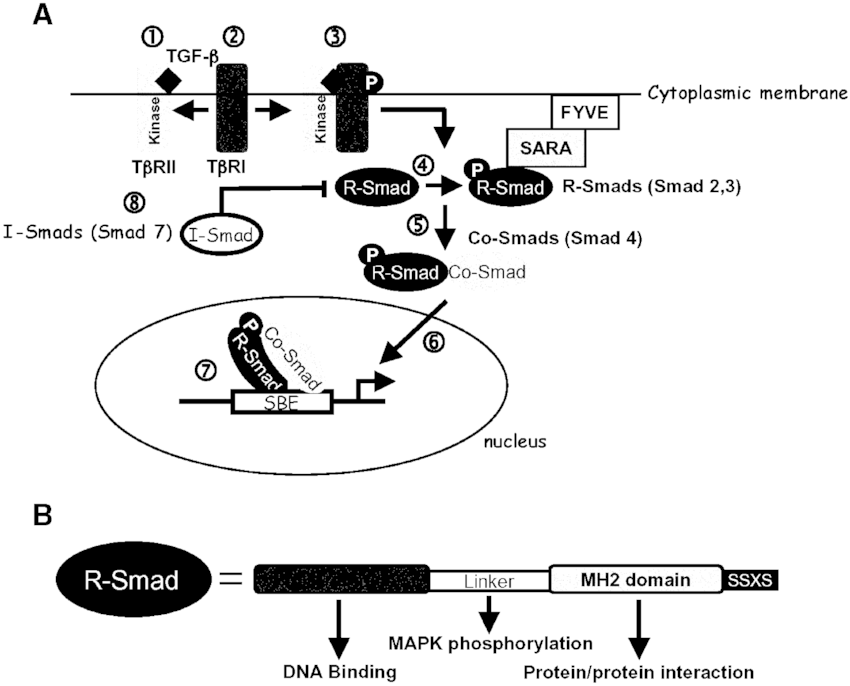 The Smad signaling pathway. A. Schematic representation of