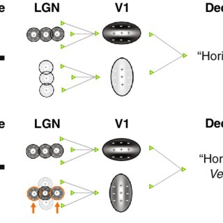 Orientation selectivity in visual cortex. a A model