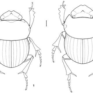 (PDF) Dichotomius comarapensis sp. nov., une nouvelle