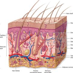 Skin Cross Section Diagram John Deere 2640 Alternator Wiring Cell Mcgraw All Data 8 Schematic Of The Human C Hill Cells Under Microscope