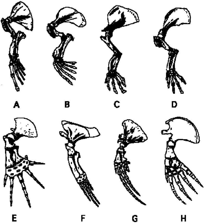 medium resolution of skeleton of left pectoral limbs of aquatic mammals including a sea download scientific diagram