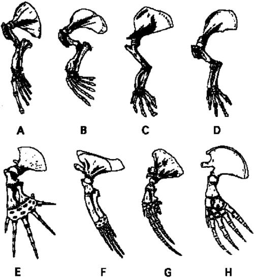 small resolution of skeleton of left pectoral limbs of aquatic mammals including a sea download scientific diagram
