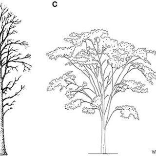 Four types of woody plants: (A) Shrub, here with five