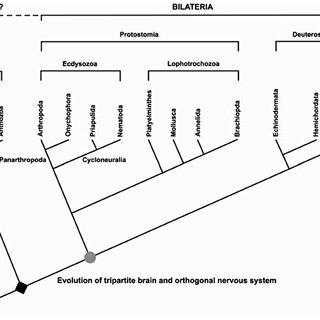 (PDF) On the Origin and Evolution of the Tripartite Brain