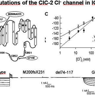Proposed structure of the voltage-gated Na + channel α-and