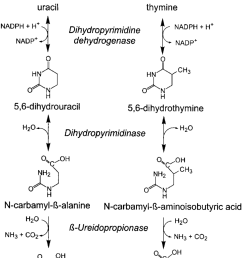 catabolic pathway of the pyrimidines uracil and thymine  [ 850 x 1223 Pixel ]