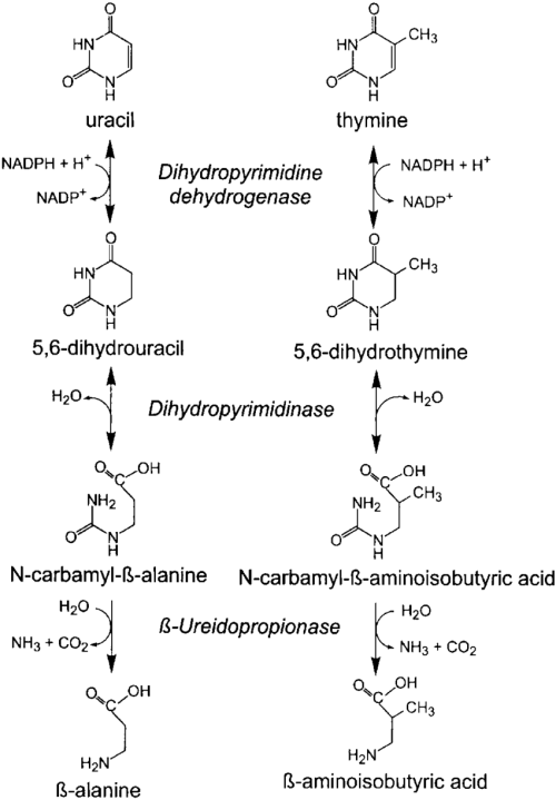 small resolution of catabolic pathway of the pyrimidines uracil and thymine