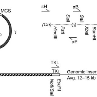 Schematic diagram of ZFN-induced gene targeting. The open