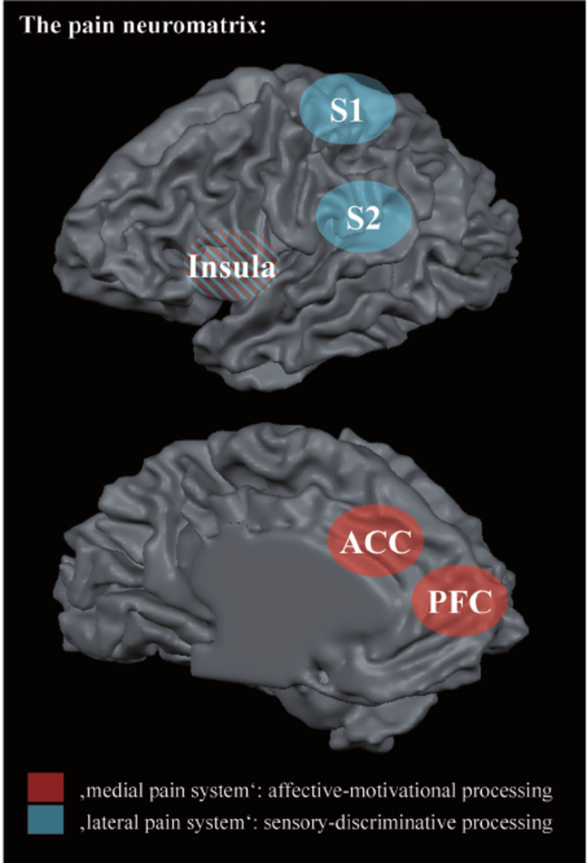 medium resolution of this schematic illustration shows the pain neuromatrix on a reconstructed left hemisphere from lateral top