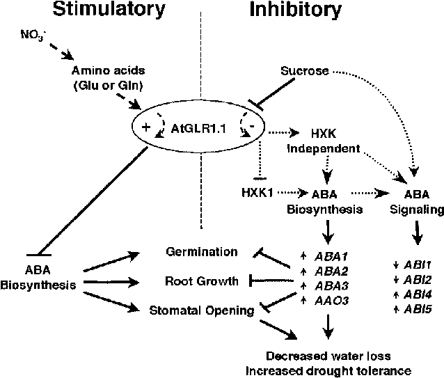 Proposed role of AtGLR1.1 in the regulation of ABA