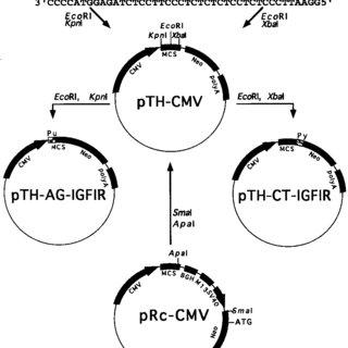 Schematic representation of plasmid construction