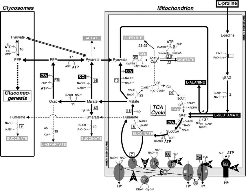 Schematic representation of L-proline metabolism in the