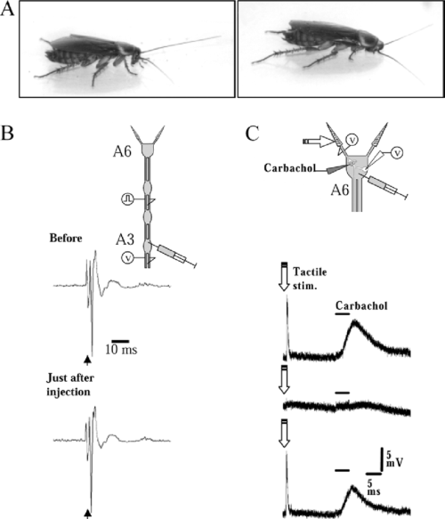 small resolution of a c the transient paralysis of the front legs a a typical upright posture of the cockroach