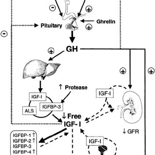 Fig. 2 Growth hormone-mediated JAK/STAT signal