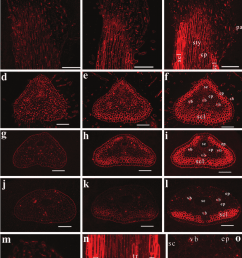 immunolocalization of mannan containing polysaccharide epitopes in faba bean pistils densely labeled sclerenchyma cell [ 850 x 1117 Pixel ]