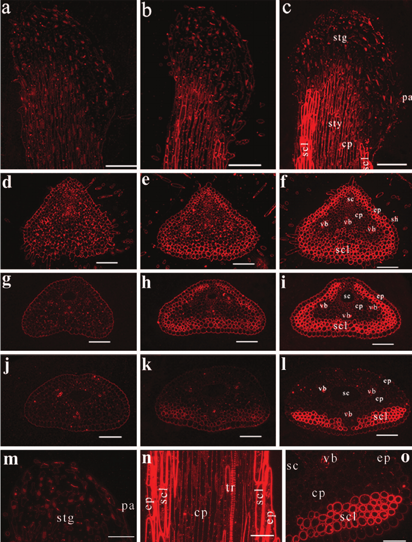 hight resolution of immunolocalization of mannan containing polysaccharide epitopes in faba bean pistils densely labeled sclerenchyma cell