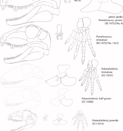 ontogenetic stages of palaeohatteriidae displaying skulls mid dorsal vertebrae pelvic girdles  [ 850 x 1178 Pixel ]
