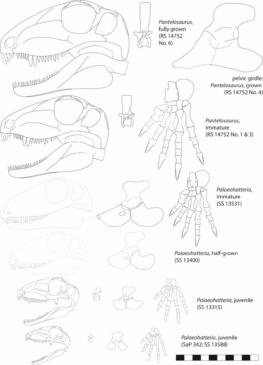 medium resolution of ontogenetic stages of palaeohatteriidae displaying skulls mid dorsal vertebrae pelvic girdles