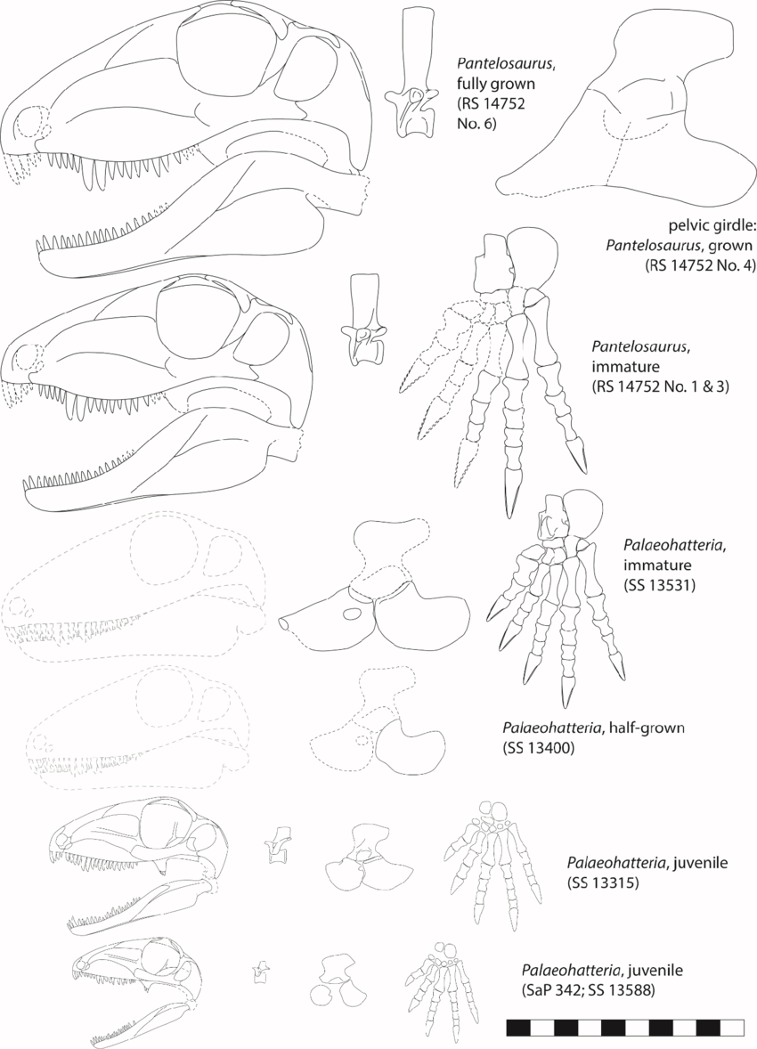hight resolution of ontogenetic stages of palaeohatteriidae displaying skulls mid dorsal vertebrae pelvic girdles