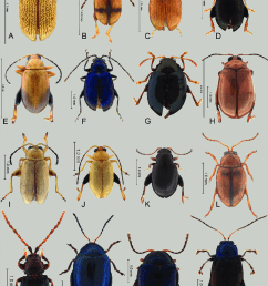 focal light and dark flea beetle species a light apraea portoricensis blake [ 850 x 1139 Pixel ]