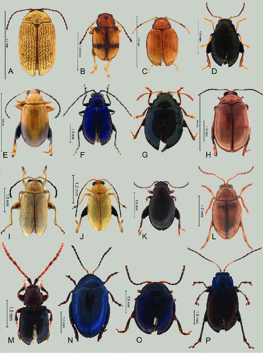 hight resolution of focal light and dark flea beetle species a light apraea portoricensis blake