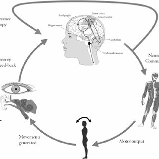 Schematic of feed-back postural control. The sensory