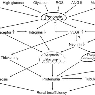 (PDF) From the Periphery of the Glomerular Capillary Wall