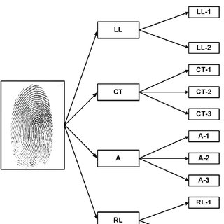 Fingerprint patterns that collectively belong to the A