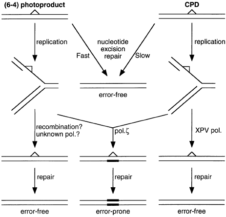 Possible pathways for error-free and error-prone repair of