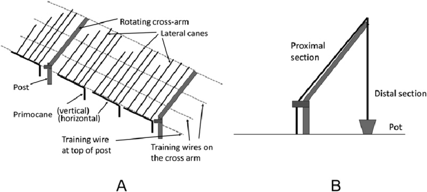 Schematic drawings of producing long-cane blackberry