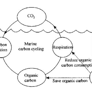 A model of light bio-utilization and carbon cycling in the