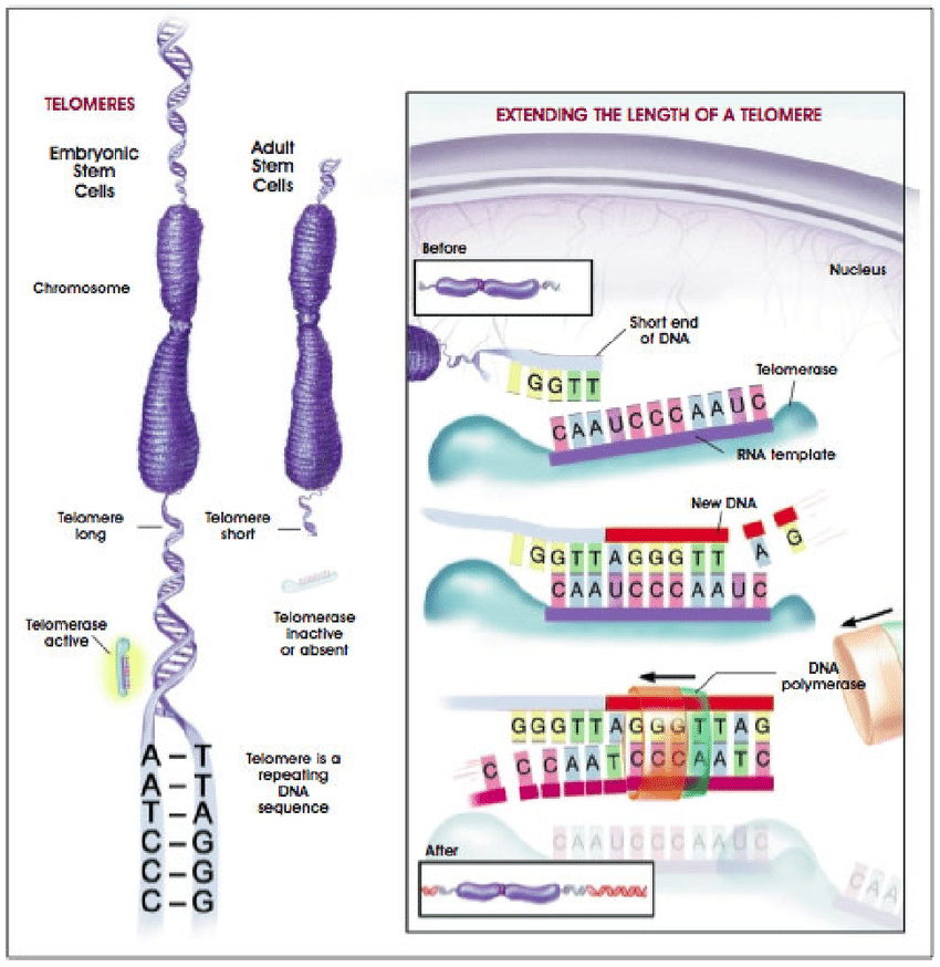 Illustrations of telomere telomerase and their functions ...
