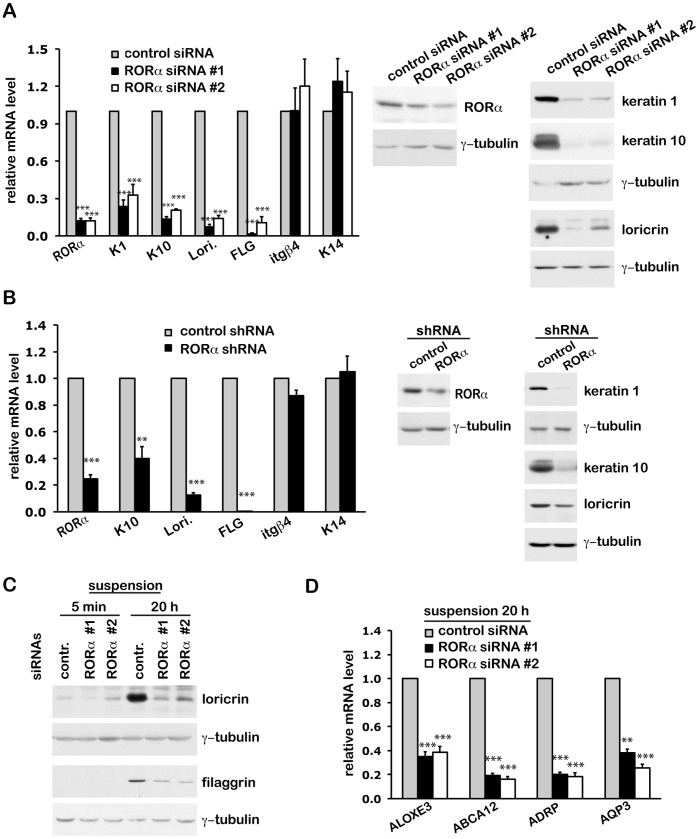 The Retinoid-Related Orphan Receptor RORα Promotes