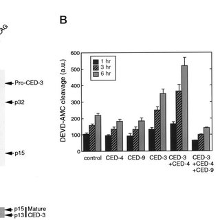 CED-4 enhances the activation of CED-3, which is inhibited